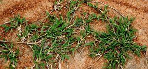 Unwated bermuda grass